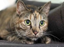 I am a spayed female, tortie Domestic Shorthair mix. I weigh about 10 Lbs. The shelter staff think I am about 2 years and 0 months old. I have been at the shelter since Dec 17, 2016.